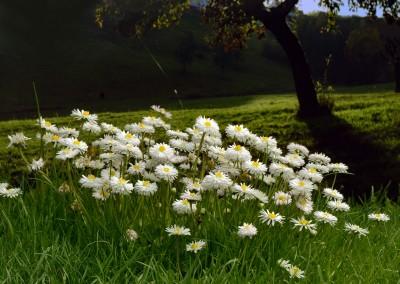Gnseblümchen Baum1