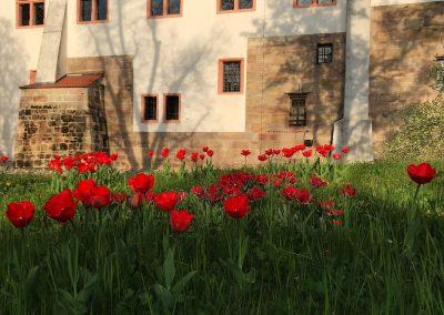 ratibor tulpen